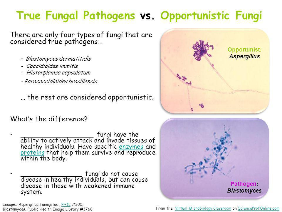 True Fungal Pathogens vs. Opportunistic Fungi There are only four types of fungi that are considered true pathogens… - Blastomyces dermatitidis - Cocc