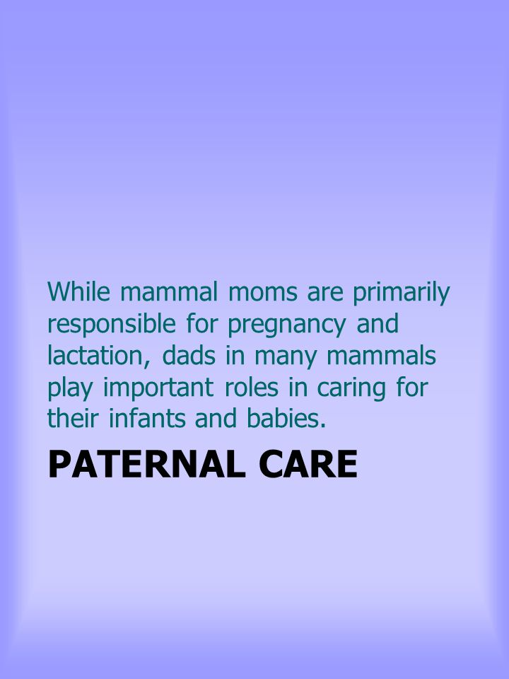 PATERNAL CARE While mammal moms are primarily responsible for pregnancy and lactation, dads in many mammals play important roles in caring for their infants and babies.
