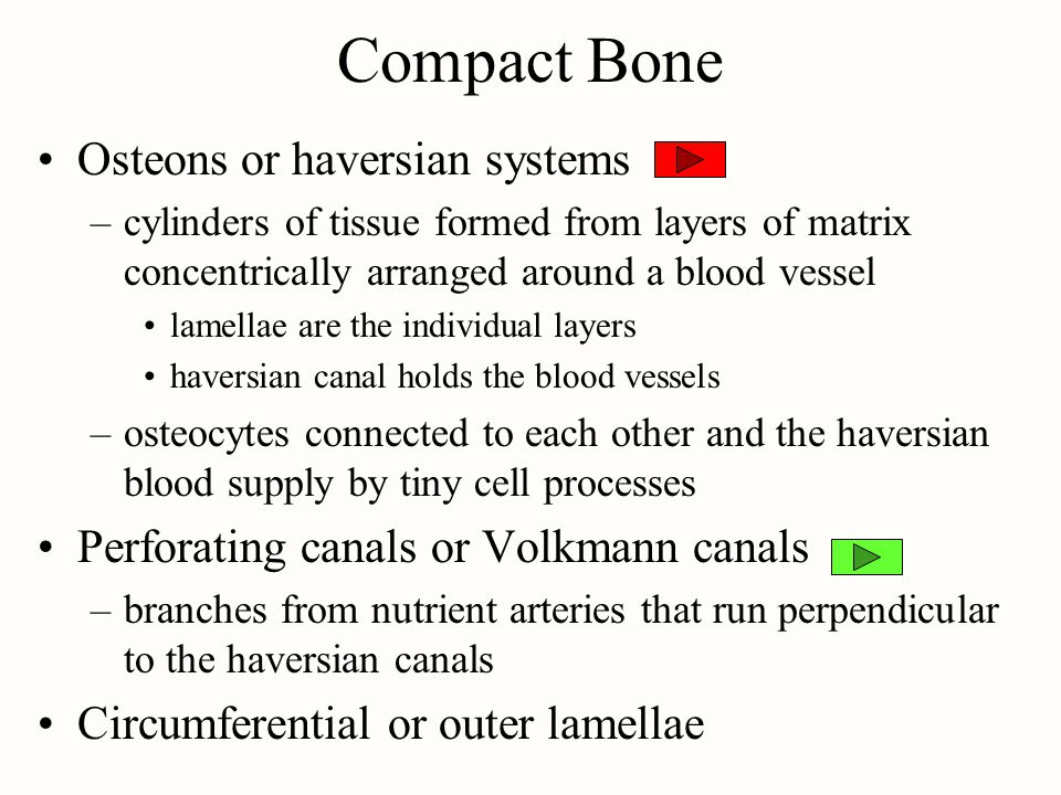 Compact Bone Osteons or haversian systems –cylinders of tissue formed from layers of matrix concentrically arranged around a blood vessel lamellae are