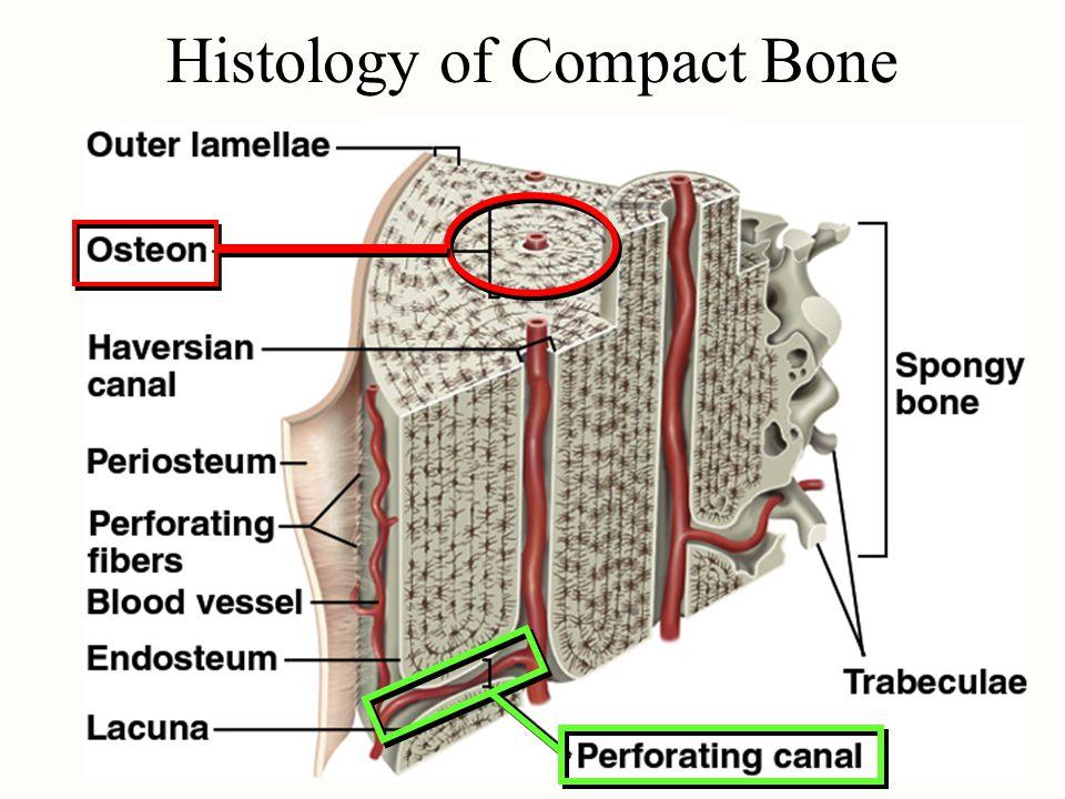 Histology of Compact Bone