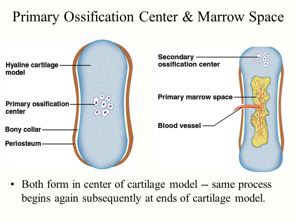 Primary Ossification Center & Marrow Space Both form in center of cartilage model -- same process begins again subsequently at ends of cartilage model