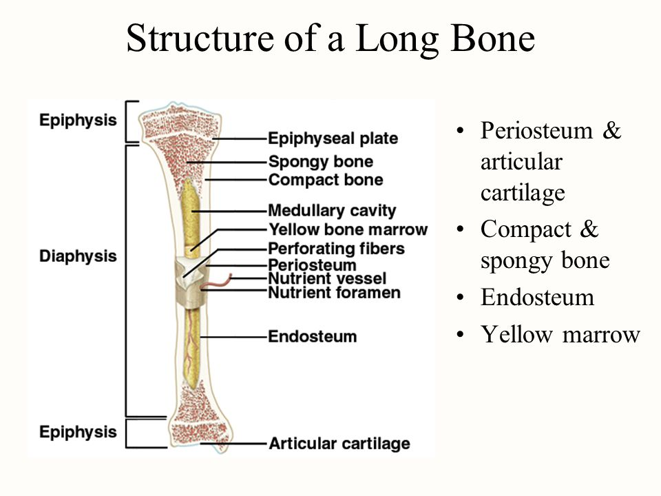 General Features of Bones Shaft (diaphysis) is cylinder of compact bone containing marrow cavity (medullary cavity) & lined with endosteum (cells providing bone resorption & deposition) Enlarged ends (epiphyses) are spongy bone covered with a layer of compact bone –enlarged to strengthen joint & provide for attachment of tendons and ligaments Joint surface covered with cartilage (lubrication) Remainder of bone covered with periosteum –outer fibrous layer continuous with tendons perforating or Sharpeys fibers penetrate into bone matrix –inner osteogenic layer important for growth & healing Epiphyseal plate or line depends on age