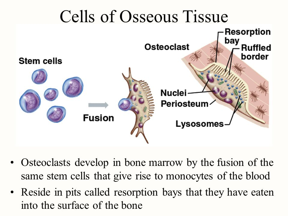 Matrix of Osseous Tissue Dry weight is 1/3 organic & 2/3 inorganic matter Organic matter –collagen, glycosaminoglycans, proteoglycans & glycoproteins Inorganic matter –85% hydroxyapatite (crystallized calcium phosphate salt) –10% calcium carbonate –other minerals Combination provides for strength & resilience –minerals resist compression; collagen resists tension