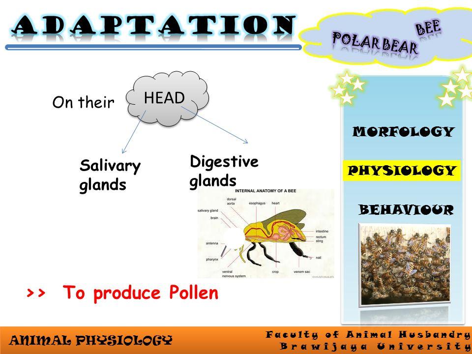ANIMAL PHYSIOLOGY Faculty of Animal Husbandry Brawijaya University MORFOLOGY PHYSIOLOGY BEHAVIOUR HEAD On their Digestive glands Salivary glands >> To produce Pollen