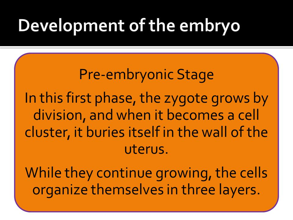 Pre-embryonic Stage In this first phase, the zygote grows by division, and when it becomes a cell cluster, it buries itself in the wall of the uterus.