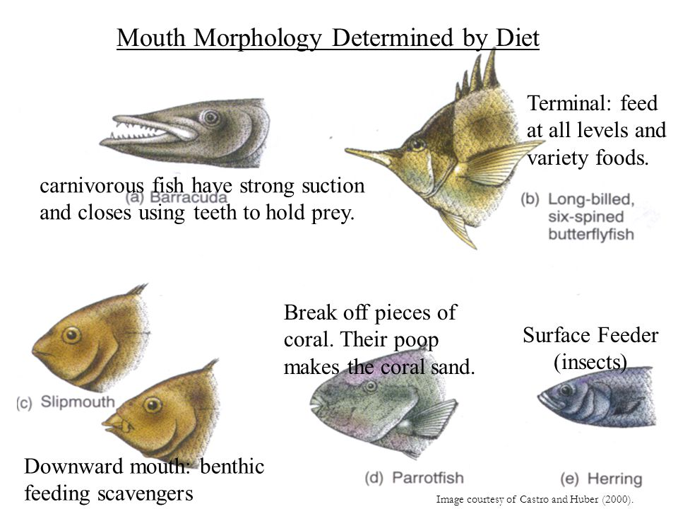 Mouth Morphology Determined by Diet Image courtesy of Castro and Huber (2000). Surface Feeder (insects) Downward mouth: benthic feeding scavengers Bre