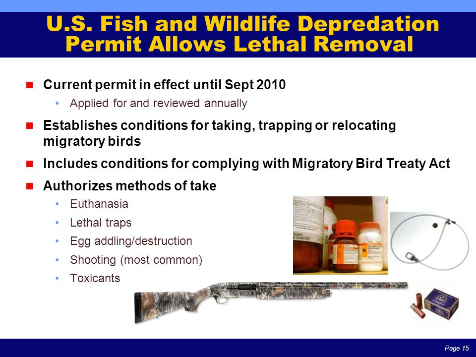 Page 15 U.S. Fish and Wildlife Depredation Permit Allows Lethal Removal Current permit in effect until Sept 2010 Applied for and reviewed annually Est