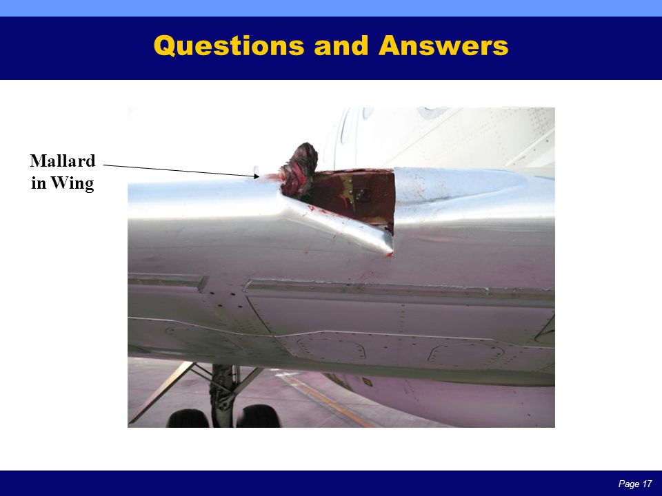 Page 17 Questions and Answers Mallard in Wing