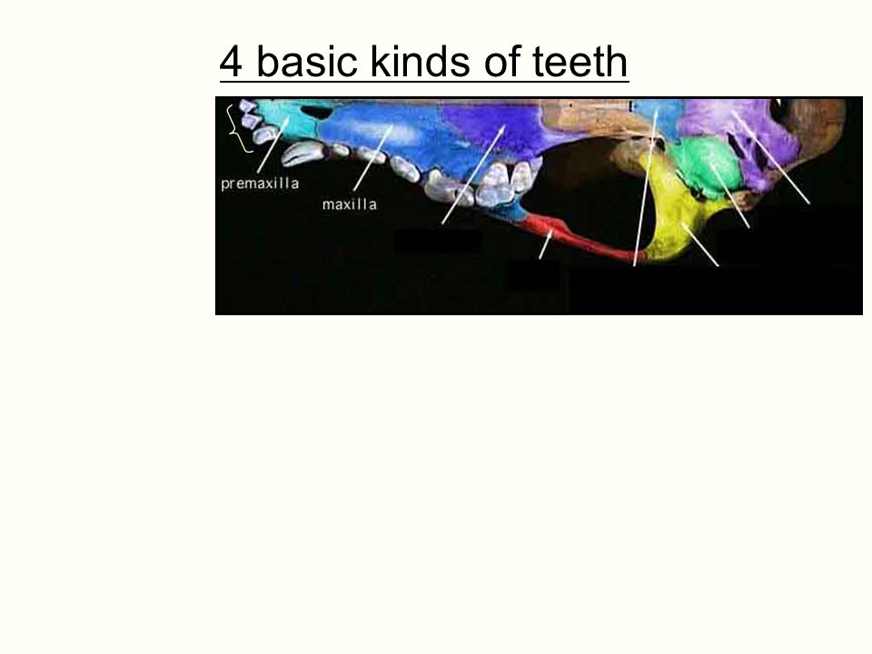 4 basic kinds of teeth