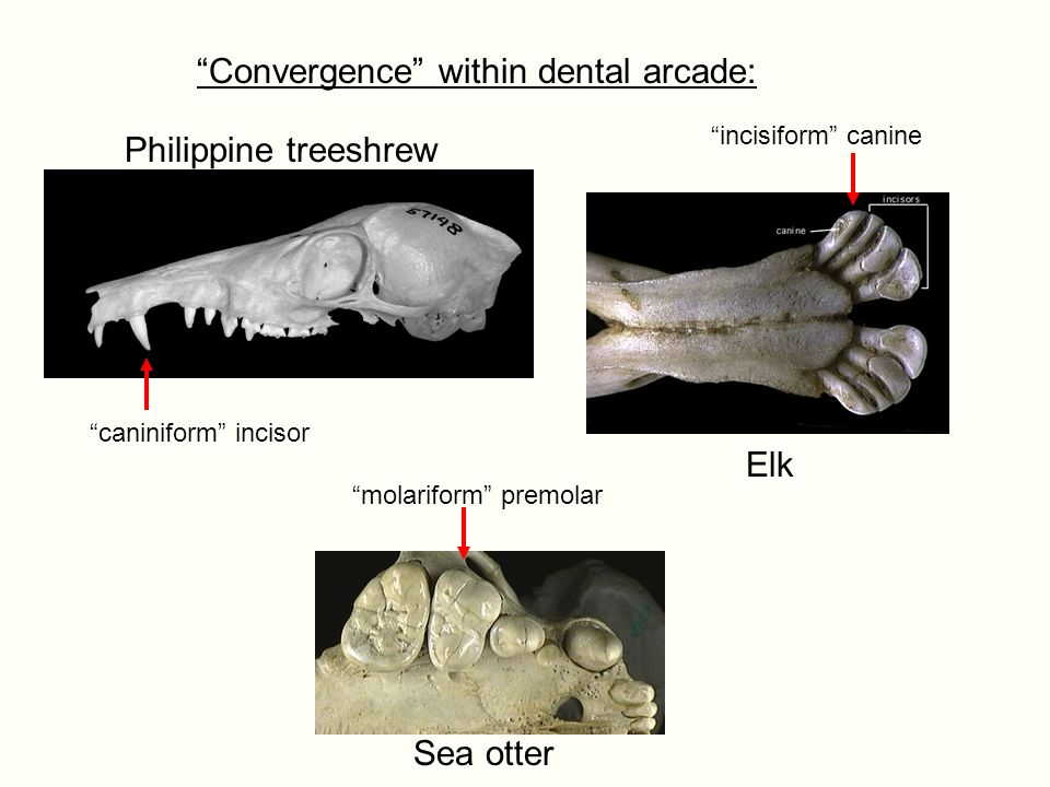 Convergence within dental arcade: Elk Sea otter Philippine treeshrew caniniform incisor incisiform canine molariform premolar