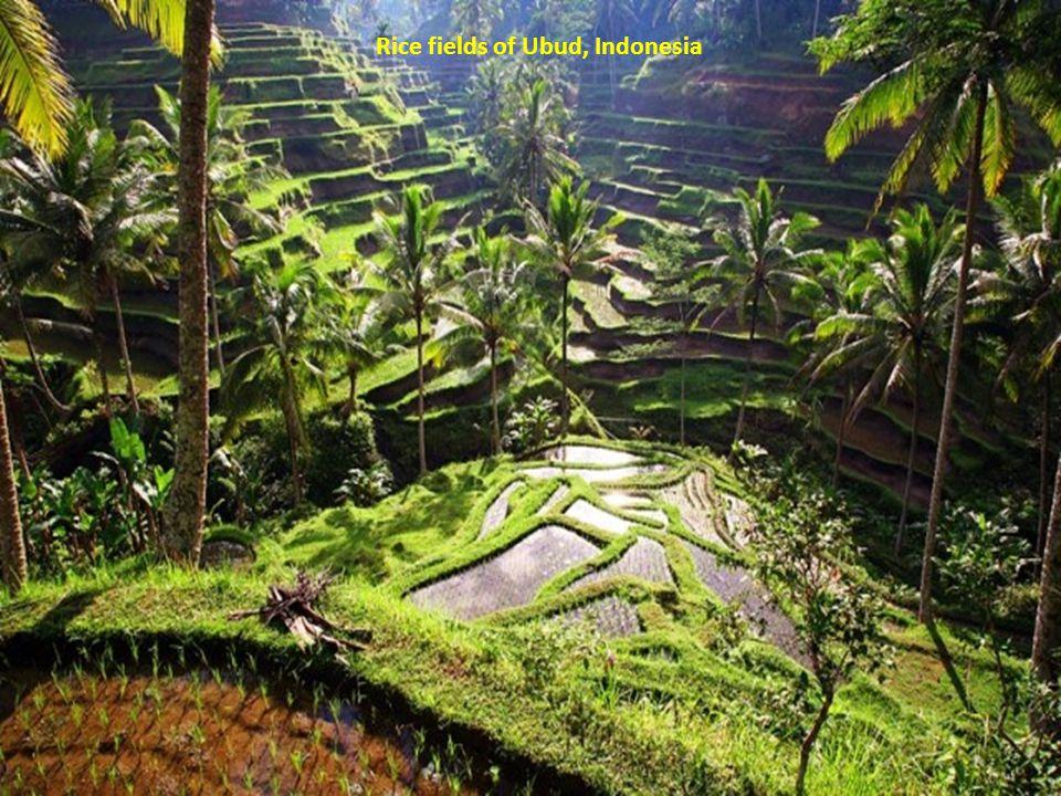 Rice fields of Ubud, Indonesia