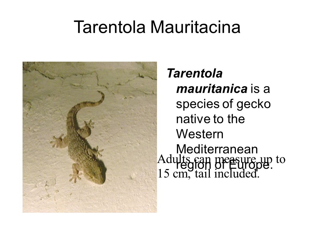 Tarentola Mauritacina Tarentola mauritanica is a species of gecko native to the Western Mediterranean region of Europe.