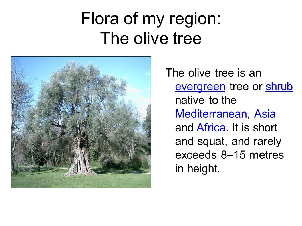 Flora of my region: The olive tree The olive tree is an evergreen tree or shrub native to the Mediterranean, Asia and Africa.