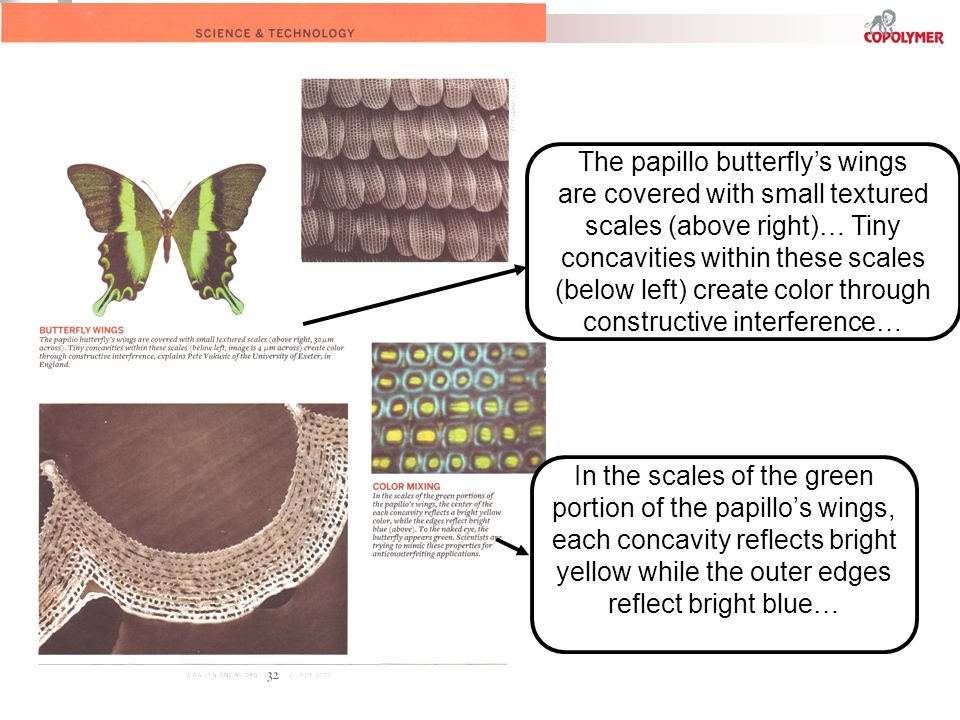 In the scales of the green portion of the papillos wings, each concavity reflects bright yellow while the outer edges reflect bright blue… The papillo