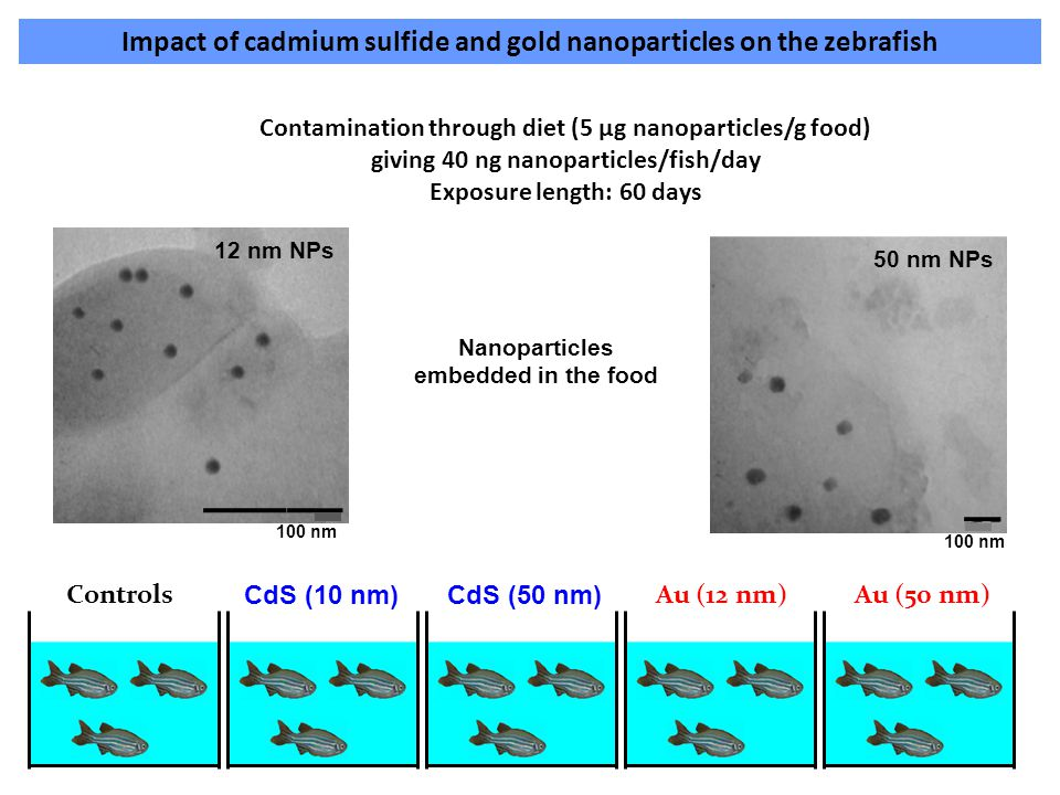 Impact of cadmium sulfide and gold nanoparticles on the zebrafish Controls CdS (10 nm)CdS (50 nm) Au (12 nm)Au (50 nm) Contamination through diet (5 µ