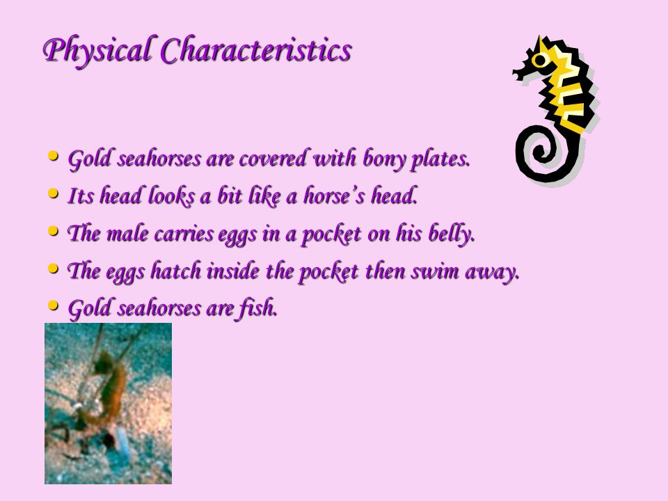 What does it eat.Gold seahorses feed on brine shrimp, tiny fish, and plankton.