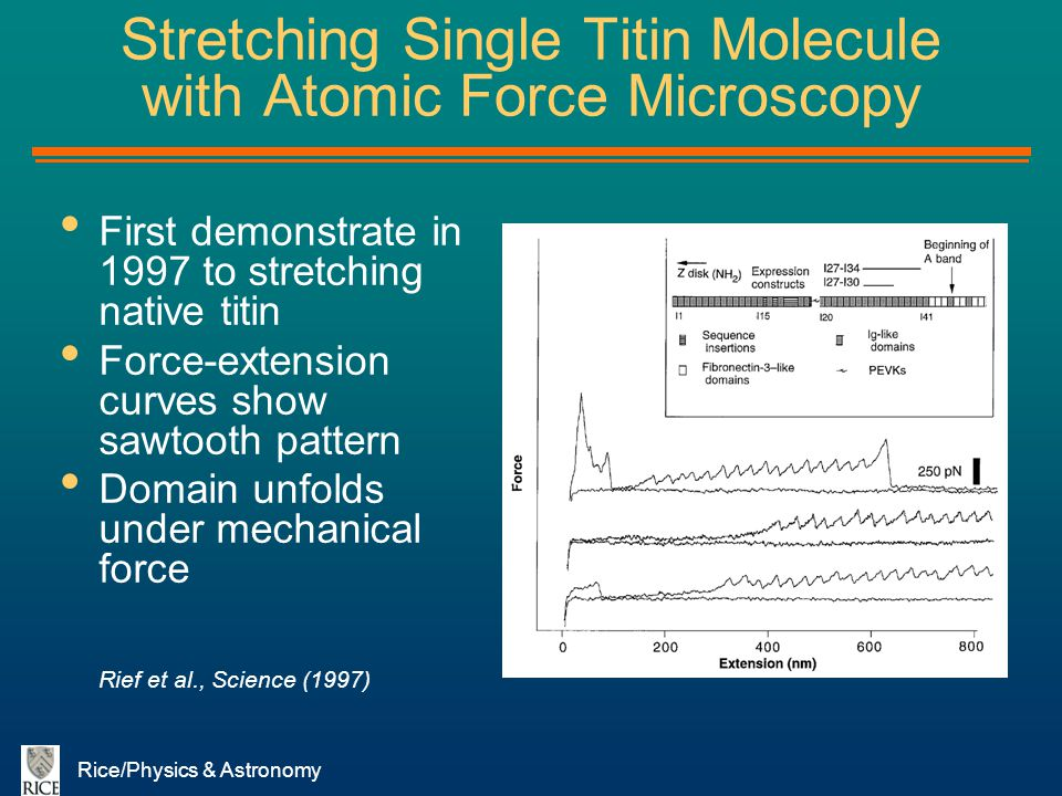 Rice/Physics & Astronomy Stretching Single Titin Molecule with Atomic Force Microscopy First demonstrate in 1997 to stretching native titin Force-exte