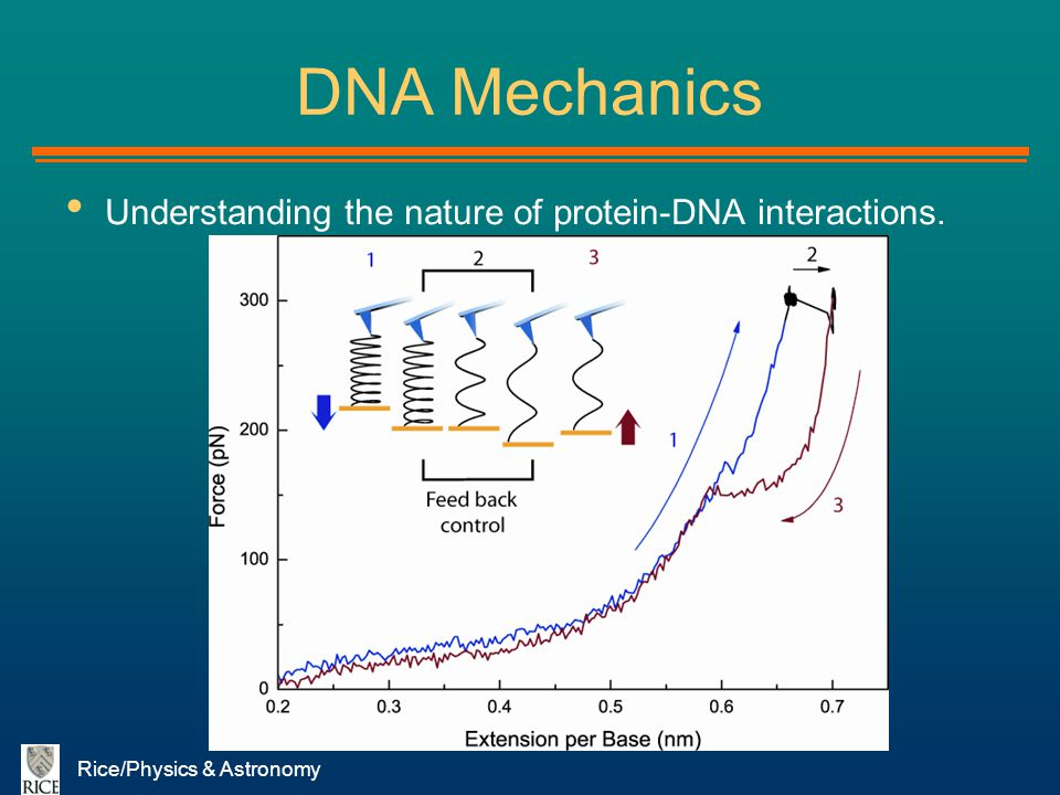 Rice/Physics & Astronomy DNA Mechanics Understanding the nature of protein-DNA interactions.