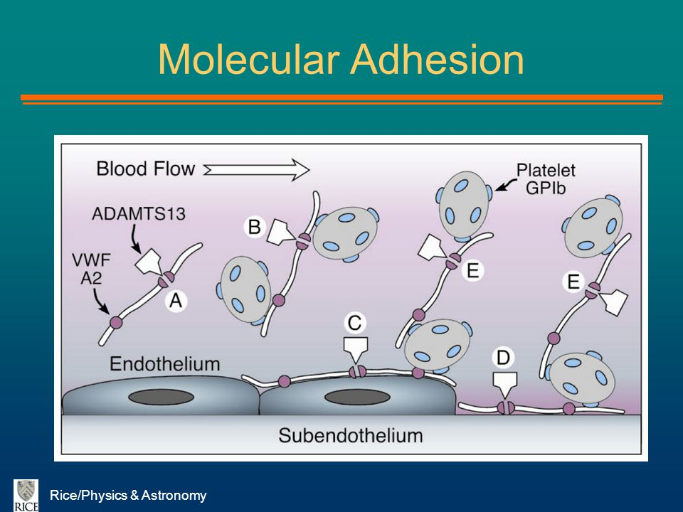 Rice/Physics & Astronomy Molecular Adhesion