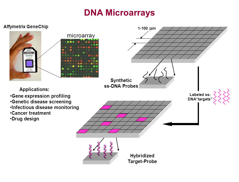 DNA Microarrays Synthetic ss-DNA Probes 1-100 m Applications: Gene expression profiling Genetic disease screening Infectious disease monitoring Cancer treatment Drug design Affymetrix GeneChip microarray Hybridized Target-Probe Labeled ss- DNAtargets