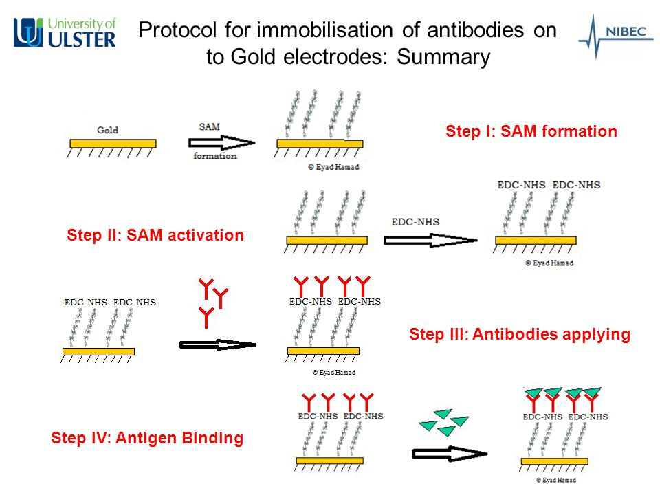 Protocol for immobilisation of antibodies on to Gold electrodes: Summary Step I: SAM formation Step II: SAM activation Step III: Antibodies applying Step IV: Antigen Binding
