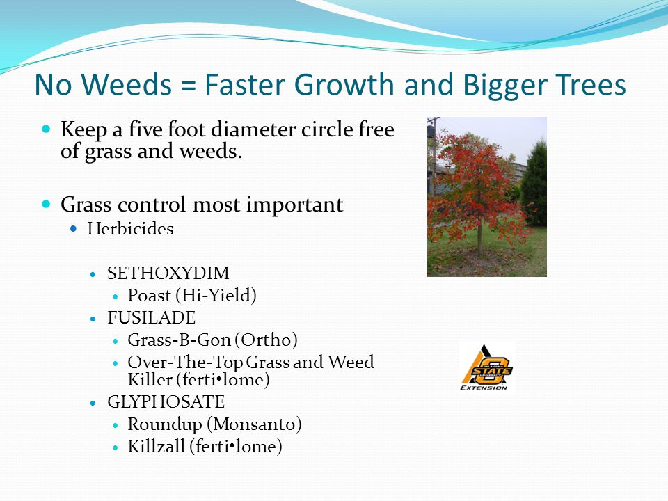 No Weeds = Faster Growth and Bigger Trees Keep a five foot diameter circle free of grass and weeds.