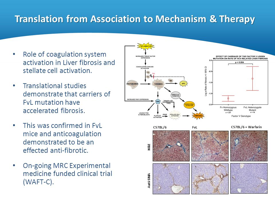 Translation from Association to Mechanism & Therapy Role of coagulation system activation in Liver fibrosis and stellate cell activation. Translationa