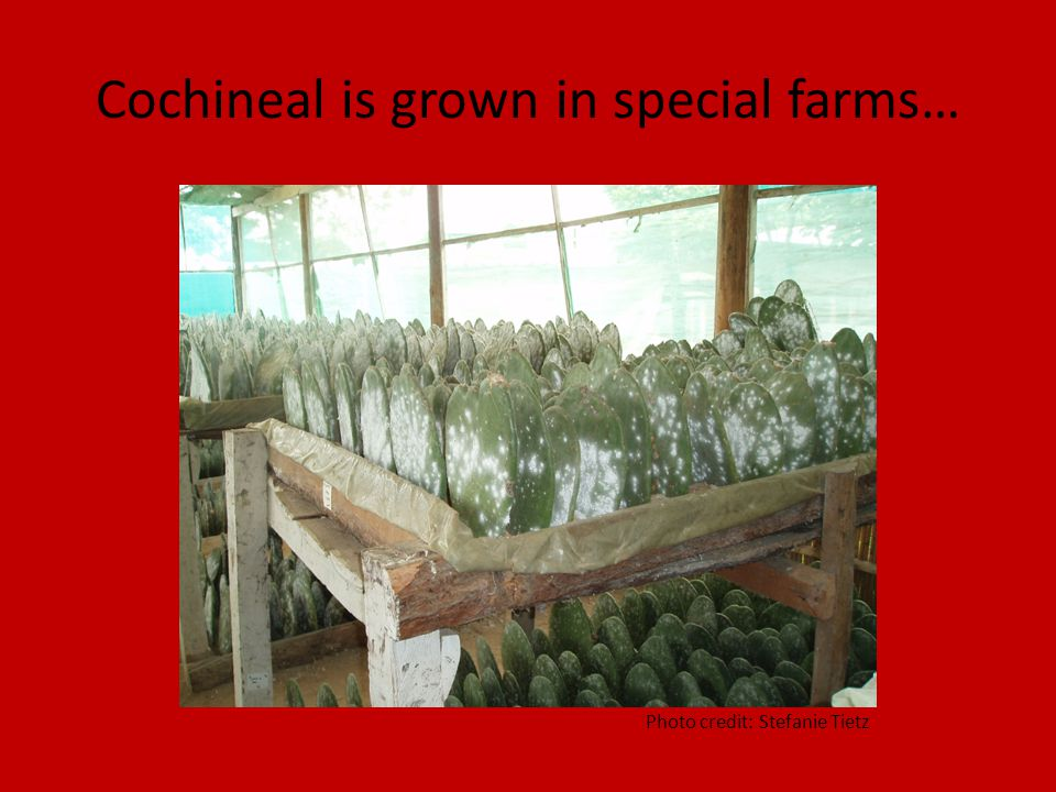 Cochineal is grown in special farms… Photo credit: Stefanie Tietz