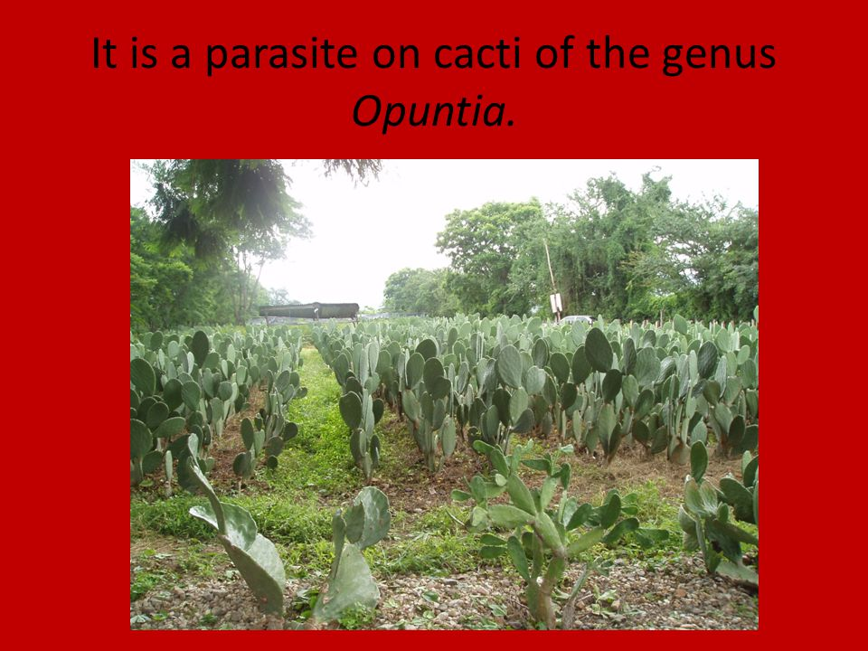 It is a parasite on cacti of the genus Opuntia.