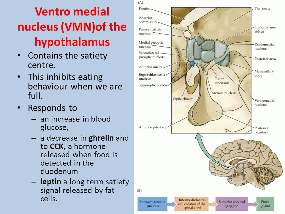 Ventro medial nucleus (VMN)of the hypothalamus Contains the satiety centre. This inhibits eating behaviour when we are full. Responds to – an increase