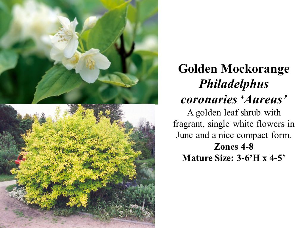 Golden Mockorange Philadelphus coronaries Aureus A golden leaf shrub with fragrant, single white flowers in June and a nice compact form. Zones 4-8 Ma