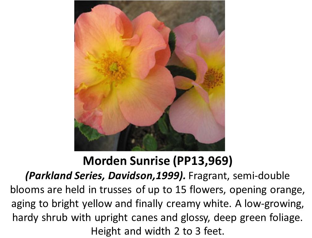 Morden Sunrise (PP13,969) (Parkland Series, Davidson,1999). Fragrant, semi-double blooms are held in trusses of up to 15 flowers, opening orange, agin