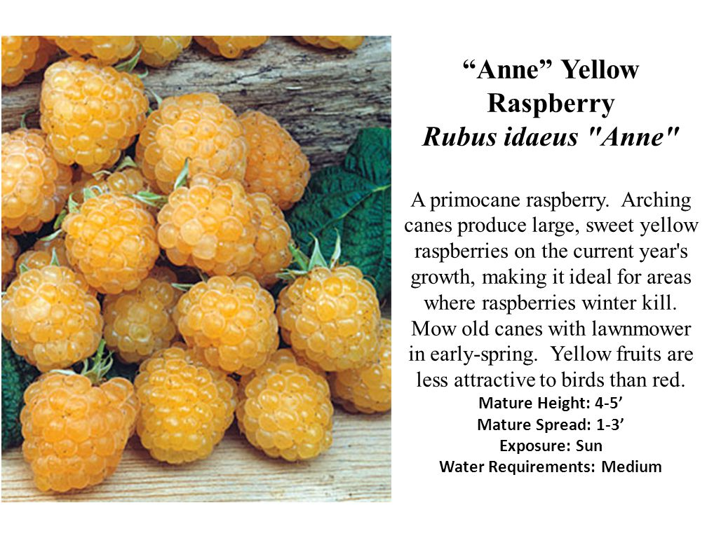 Anne Yellow Raspberry Rubus idaeus