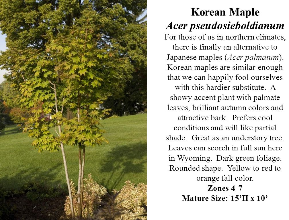 Korean Maple Acer pseudosieboldianum For those of us in northern climates, there is finally an alternative to Japanese maples (Acer palmatum). Korean