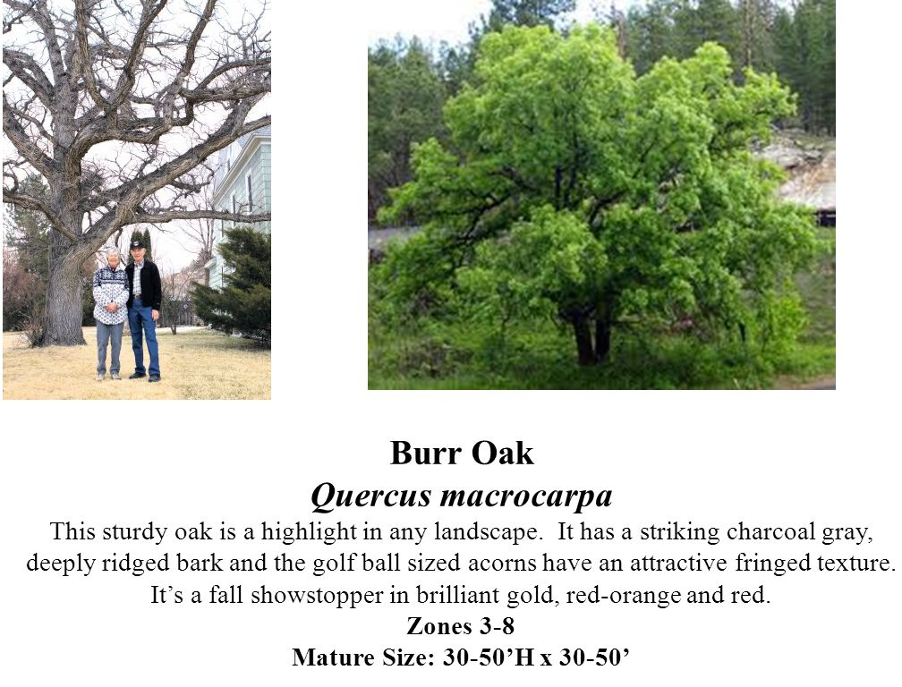 Burr Oak Quercus macrocarpa This sturdy oak is a highlight in any landscape. It has a striking charcoal gray, deeply ridged bark and the golf ball siz