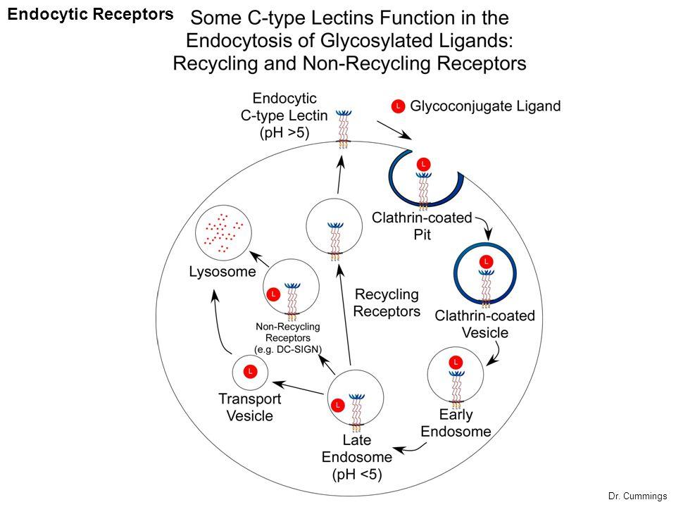 Endocytic Receptors Dr. Cummings