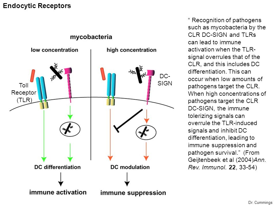 Recognition of pathogens such as mycobacteria by the CLR DC-SIGN and TLRs can lead to immune activation when the TLR- signal overrules that of the CLR