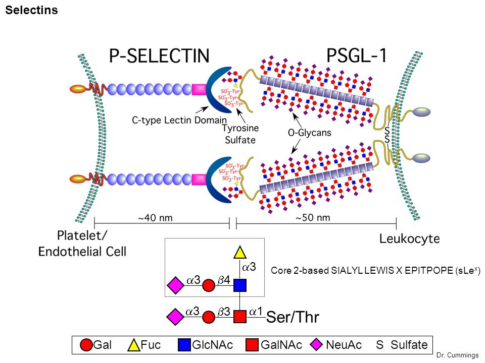 Selectins GalGalNAcGlcNAcFucNeuAc S Sulfate Ser/Thr 3 1 3 3 4 3 Core 2-based SIALYL LEWIS X EPITPOPE (sLe x ) Dr. Cummings