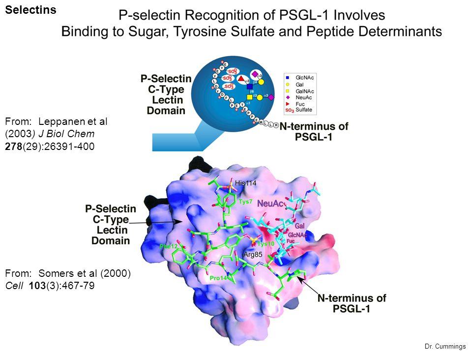 Selectins From: Somers et al (2000) Cell 103(3):467-79 From: Leppanen et al (2003) J Biol Chem 278(29):26391-400 Dr. Cummings