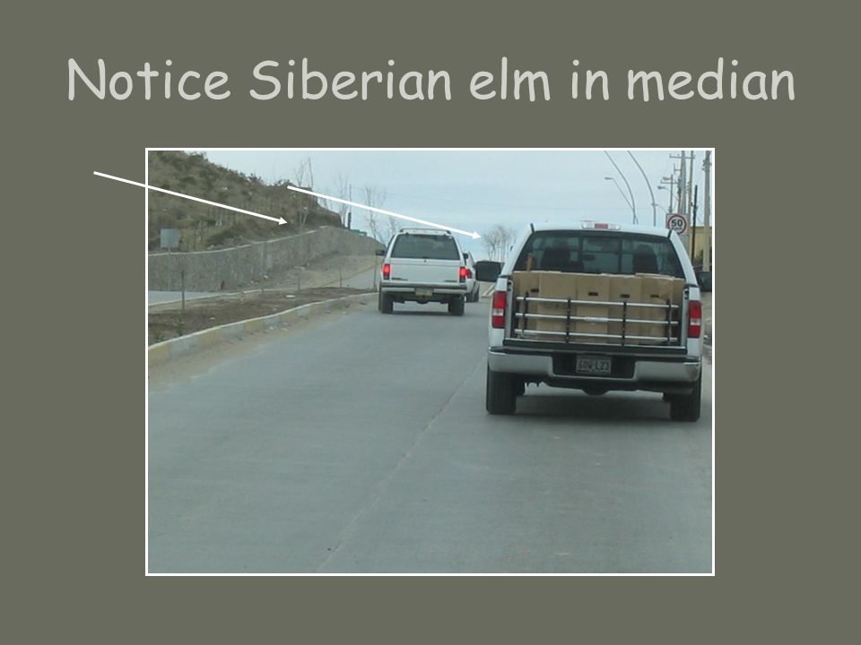 Notice Siberian elm in median