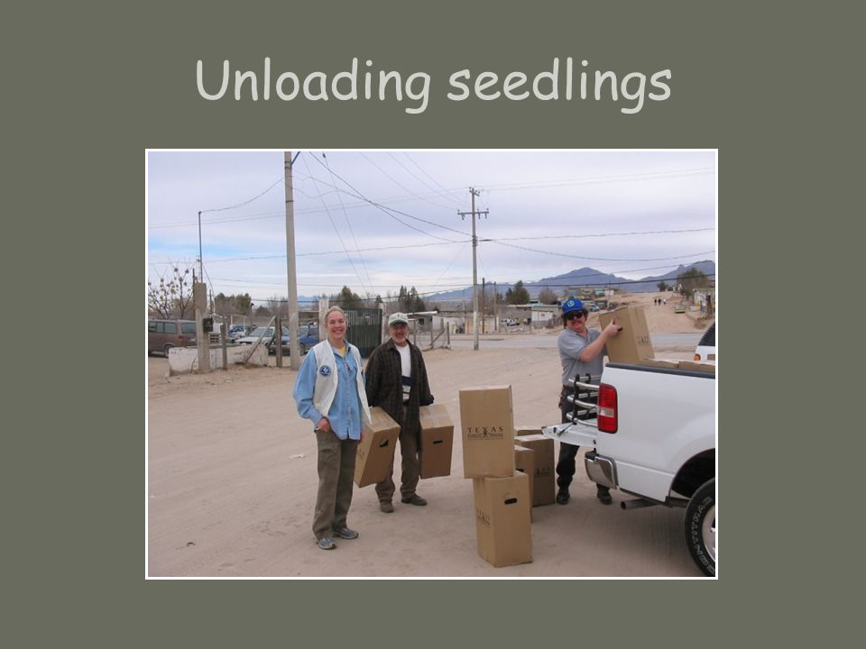 Unloading seedlings