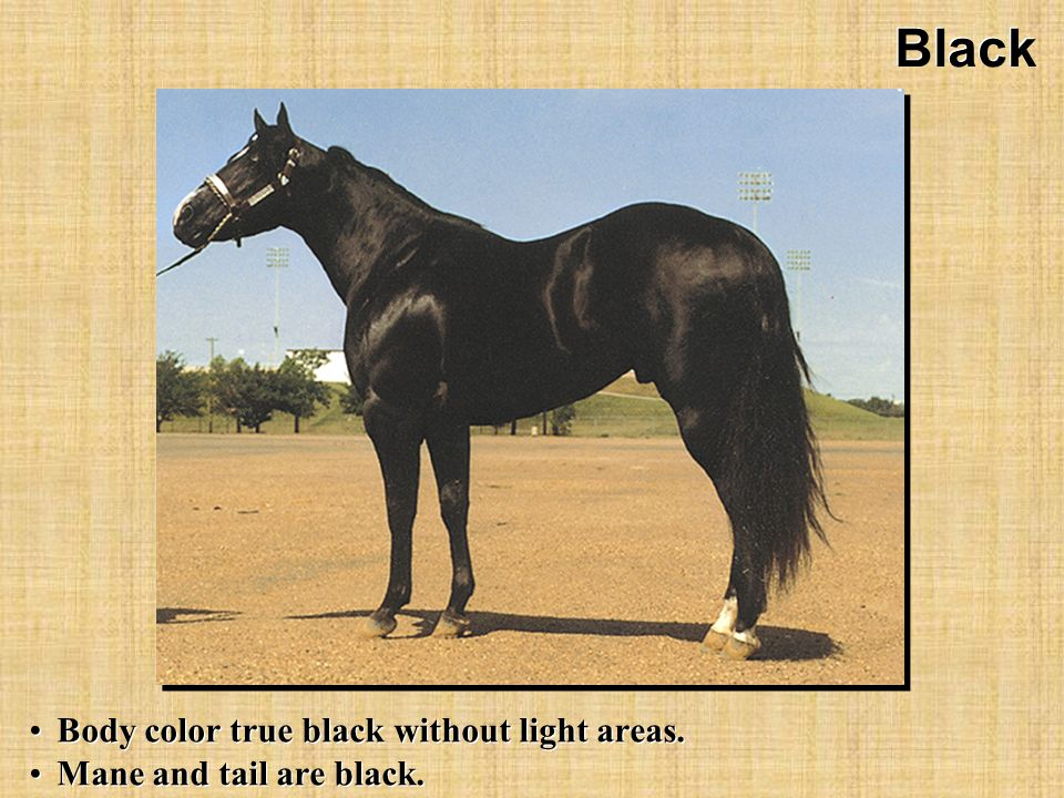 Black Body color true black without light areas. Mane and tail are black.