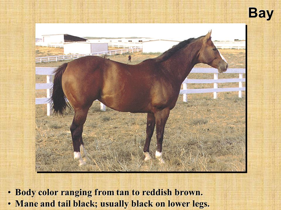 Bay Body color ranging from tan to reddish brown. Mane and tail black; usually black on lower legs.