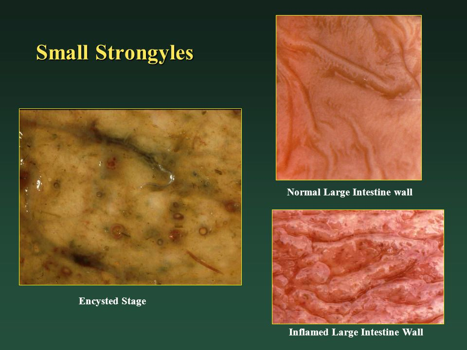 Small Strongyles Encysted Stage Normal Large Intestine wall Inflamed Large Intestine Wall
