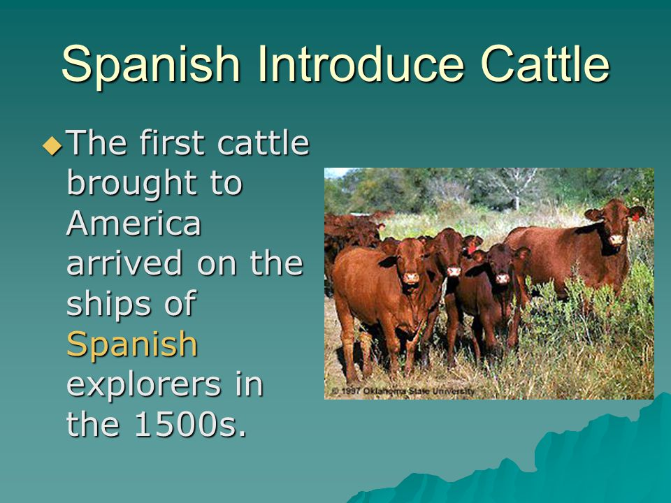Spanish Introduce Cattle The first cattle brought to America arrived on the ships of Spanish explorers in the 1500s. The first cattle brought to Ameri