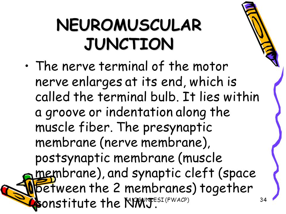 TA OGUNLESI (FWACP)34 NEUROMUSCULAR JUNCTION The nerve terminal of the motor nerve enlarges at its end, which is called the terminal bulb.