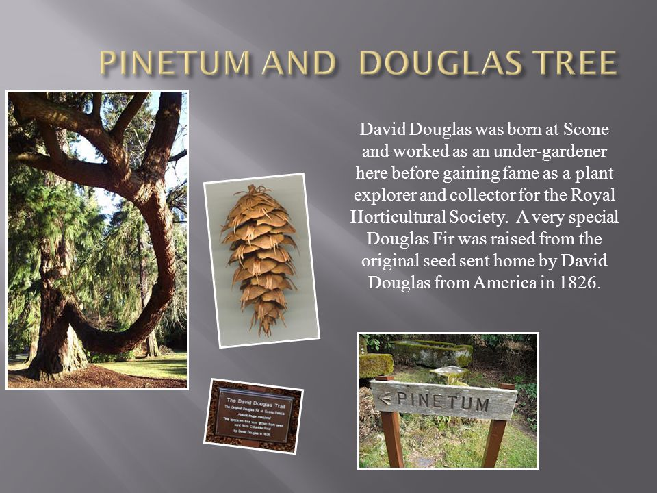 David Douglas was born at Scone and worked as an under-gardener here before gaining fame as a plant explorer and collector for the Royal Horticultural Society.