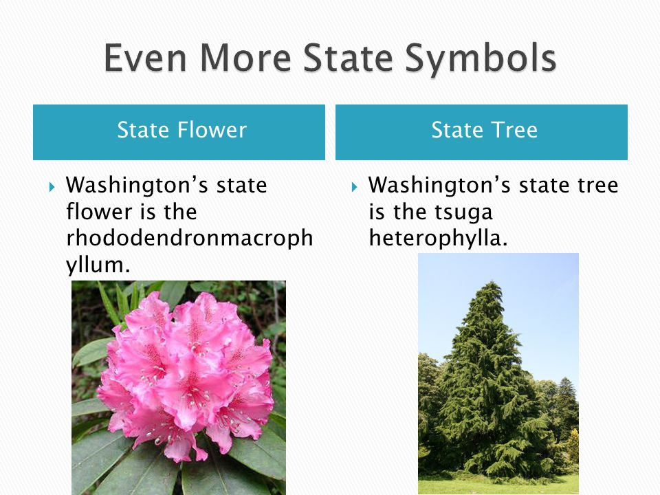 State FlowerState Tree Washingtons state flower is the rhododendronmacroph yllum.
