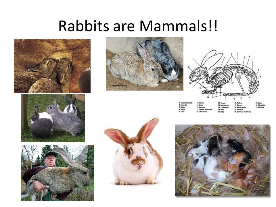 Rabbits are Mammals!!