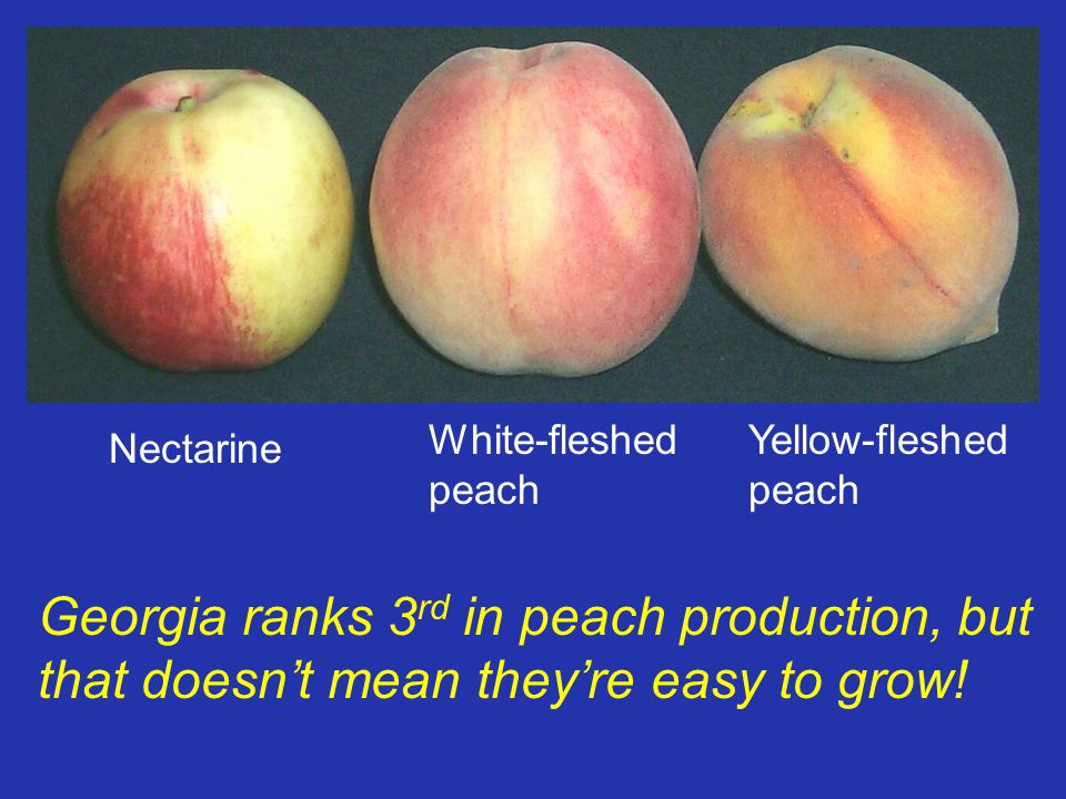 Georgia ranks 3 rd in peach production, but that doesnt mean theyre easy to grow! Nectarine White-fleshed peach Yellow-fleshed peach